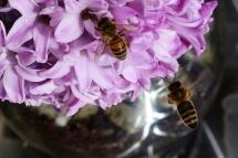 Bienen06